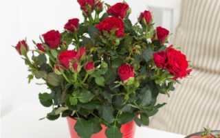 Уход за декоративными розами в горшочках