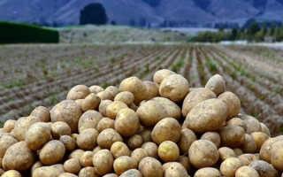 Как хранить картошку в земле зимой