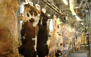 Как убивают коров на мясо