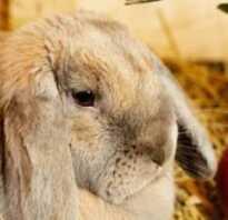 Можно ли кроликам давать вареную свеклу