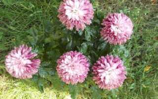 Хризантемы мультифлора выращивание и зимовка
