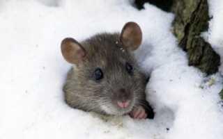 Как уберечь виноград от мышей зимой