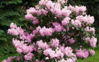Когда цветет рододендрон в каком месяце
