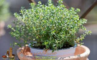 Тимьян на подоконнике выращивание