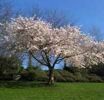 Обрезка абрикоса весной схема