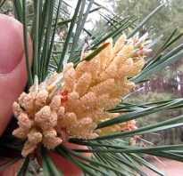 Цветет ли сосна в якутии
