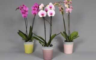 Орхидея фаленопсис микс мини