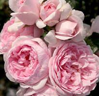 Роза синдерелла фото и описание