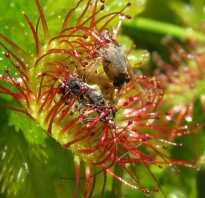 Растения хищники фото с названиями