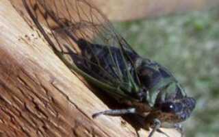 К какому отряду относится цикада