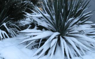 Как укрывать юкку на зиму видео