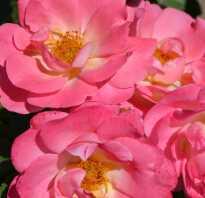 Роза герцогиня фредерика энциклопедия роз