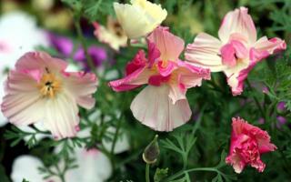 Эшшольция фото цветов в клумбе