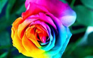 Разноцветные розы как выращивают