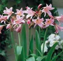 Луковичные домашние цветы фото и названия уход