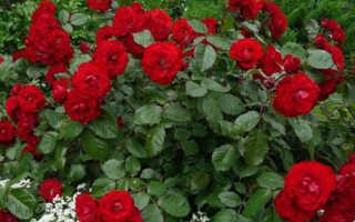 Розы и ирисы на одной клумбе