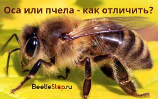Как выглядит пчела и оса