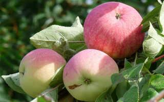 Сорт яблони мельба фото и описание сорта
