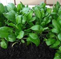 Можно ли выращивать шпинат дома