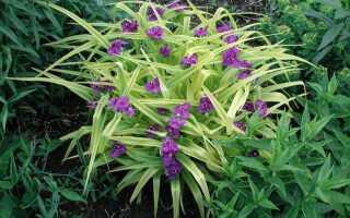 Цветок традесканция садовая фото