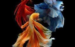 Имена для рыбок петушков мальчиков синего цвета