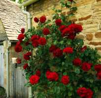 Роза вьющаяся с запахом морозостойкая
