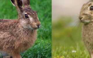 Скрещивание зайца с кроликом