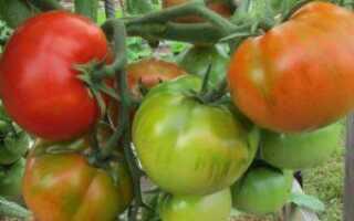 Томат старосельский отзывы фото урожайность
