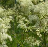 Трава белоголовник лечебные свойства и противопоказания