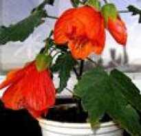 Растение семейства мальвовых 4 буквы