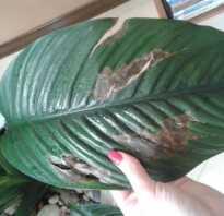 Темные пятна на листьях комнатных растений