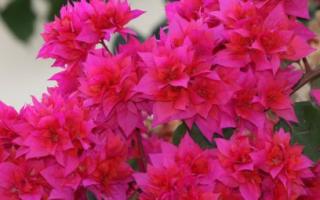 Цветок бугенвиллия уход в домашних условиях