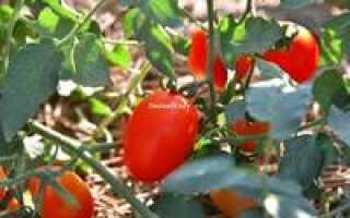 Томат де барао царский отзывы фото урожайность