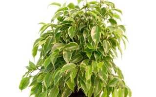 Фикус кинки опадают листья что делать