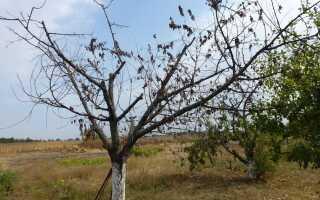 Как убрать корни вишни не выкорчевывая