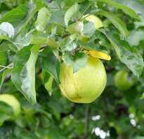 Яблоня кэрол описание фото отзывы