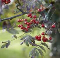 Рябина красная фото дерева и листьев
