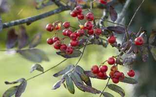 Рябина в лесу осенью картинки