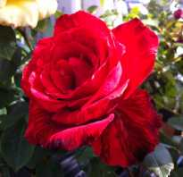 Сорт розы ред интуишн фото
