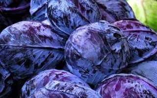 Можно ли варить борщ из краснокочанной капусты