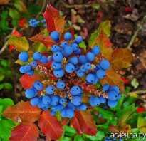 Кустарник с колючими листьями и синими ягодами