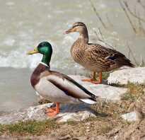 Чем питаются утки в пруду