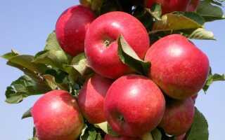 Яблоня малинка описание фото отзывы
