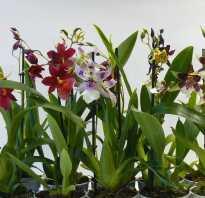 Орхидея камбрия пересадка после покупки