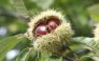 Каштан описание для гербария