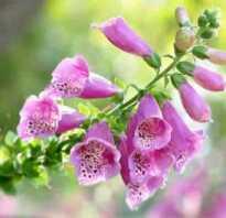 Ядовитые растения в медицине