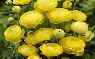 Выращивание лютиков из клубней