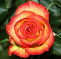 Роза хай мэджик фото и описание отзывы