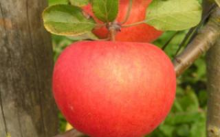 Яблоня лучезарное описание фото отзывы