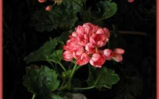 Пеларгония patricia andrea фото